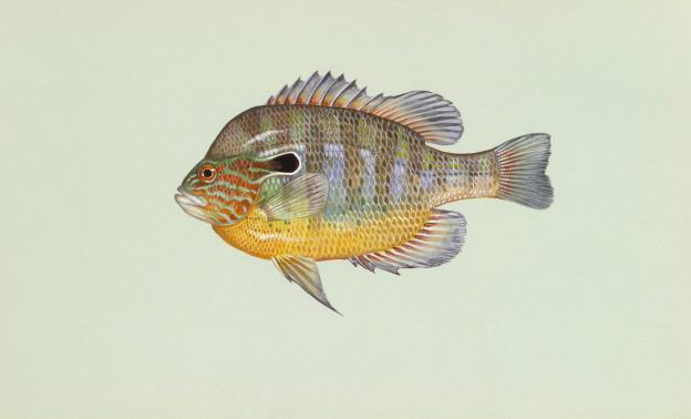 Longear_sunfish